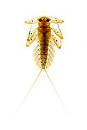 Flatheaded Mayfly (Epeorus sp.)<br /> OREGON: Grant Co.<br /> South Fork of John Day River, 3 mi S of Dayville, Oregon on Grant Co. Road 42.<br /> 19.June.2012  44.3687, -119.5493 2815 ft elev<br /> J.C. Abbott #2609 &amp; K.K. Abbott