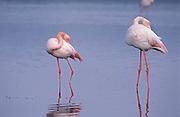Flamenco rosa (Phoenicopterus ruber)..Laguna de Fuente de Piedra (Málaga).