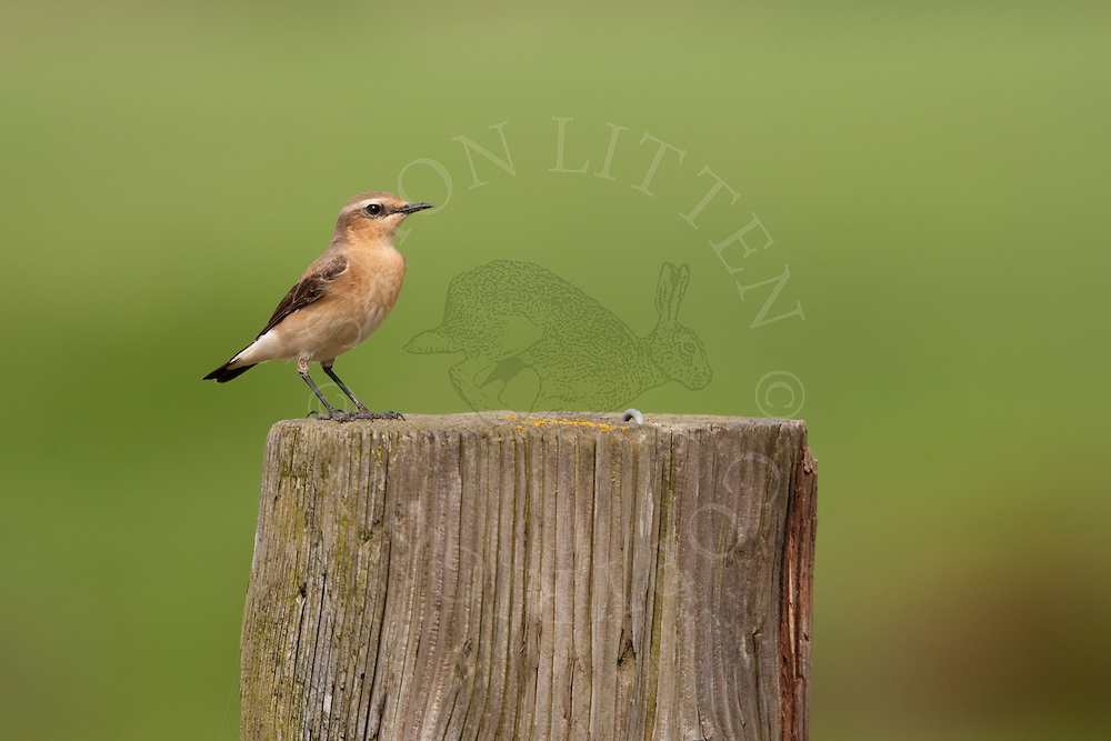 Northern Wheatear (Oenanthe oenanthe) adult female on farm post, UK.