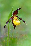 Small Yellow Lady's Slipper, Cypripedium parviflorum, Alpena County, Michigan