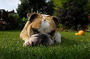 UK - Friday, Aug 29 2008:  Bruno lies on grass. (Photo by Peter Horrell / http://www.peterhorrell.com)