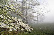 While these Flowering Dogwoods (Cornus florida) are healthy and at peak bloom in this Great Smoky Mountains habitat, the trees are classified as endangered in many US states, due to the pervasive anthracnose fungus.