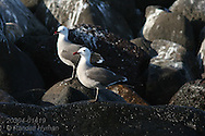 Heermann's gulls (Larus heermanni) congregate at Isla Rasa where 80% of world population nests annually; Sea of Cortez, Baja, Mexico
