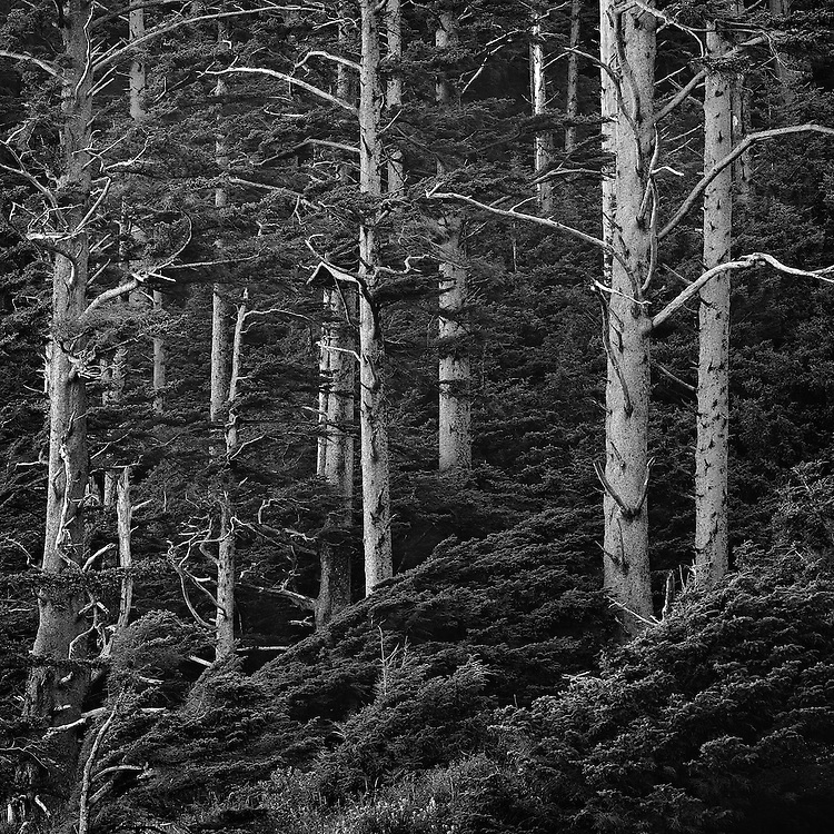 Black and white image of dead trees standing amongst new growth in Ecola State Park in Seaside, Oregon.