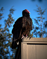 Turkey Vulture Warming on a Neighbor's Roof. Winter Backyard Nature in New Jersey. Image taken with a Fuji X-T2 camera and 100-400 mm OIS lens (ISO 200, 400 mm, f/8, 1/1500 sec).