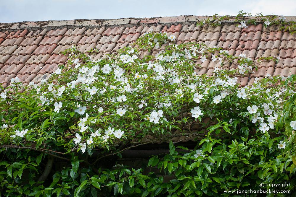 Rosa Cooper's Burmese - Cooper's Burmese rose, climbing over roof