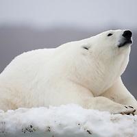 Norway, Svalbard, Polar Bear (Ursus maritimus) resting on snow bank along coast of Malmgren Island on foggy evening