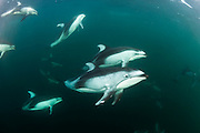Pacific White-sided Dolphins, Lagenorhynchus obliquidens, swim near Johnstone Strait, British Columbia, Canada.