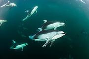 Pacific White-sided Dolphins, Lagenorhynchus obliquidens, swim near Johnstone Strait, British Columbia, Canada.