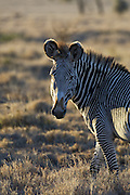 Grevy's Zebra<br /> Equus grevyi<br /> Lewa Wildlife Conservancy, Northern Kenya