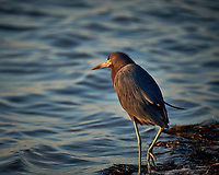 Green Heron wading at the waters edge just after sunrise at Fort De Soto Park. Pinellas County, Florida Image taken with a Fuji X-T2 camera and 100-400 mm OIS lens (ISO 200, 400 mm, f/5.6, 1/250 sec).