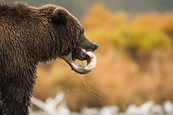 Grizzly bear (Ursus arctos) with fresh salmon in Katmai, Alaska, USA
