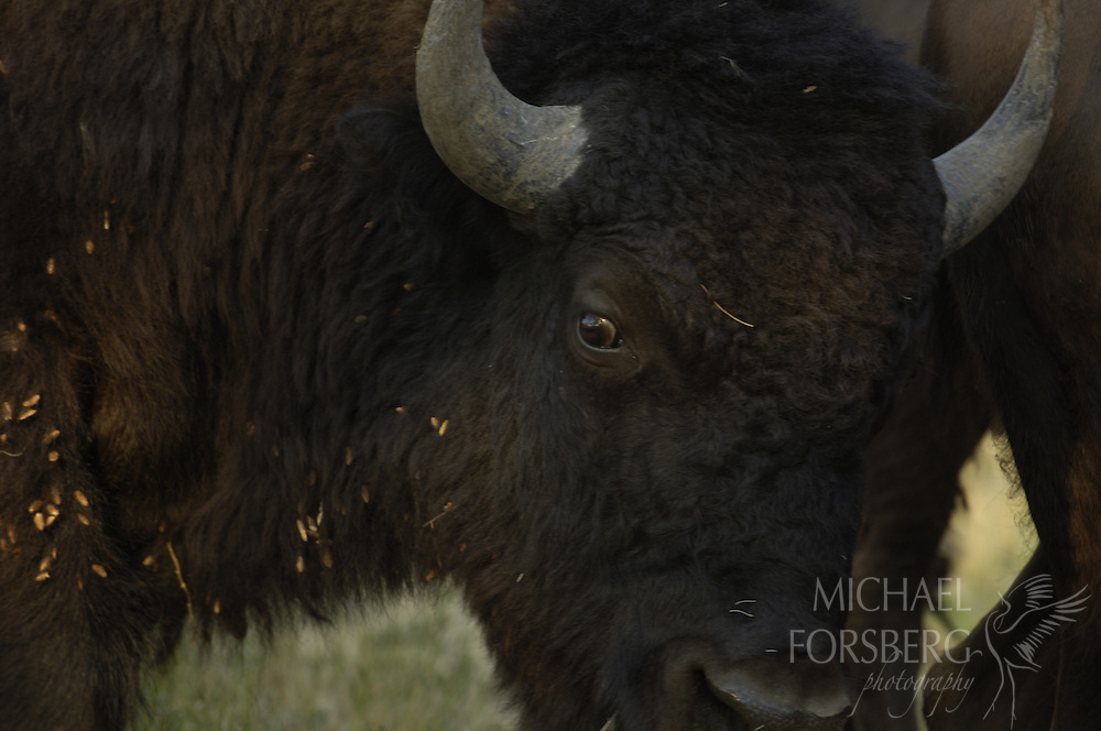 Buffalo Gap National Grassland, South Dakota..Bison portrait...