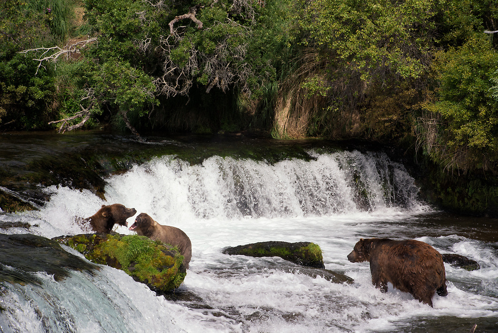 Bears generally avoid physical confrontation, preferring to conserve much needed energy and body fat. Occasionally conflicts do arise over fishing space at Brooks Falls in Katmai National Park in Alaska.