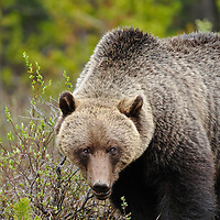 grizzly bear boar fir forest brush