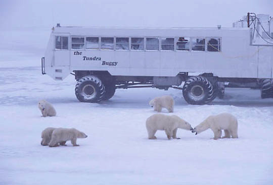 Polar Bear, (Ursus maritimus) Tundra Buggy and polar bears. Churchill, Manitoba. Canada.