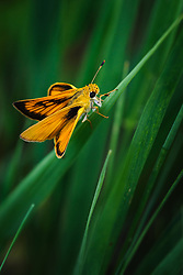 A Delaware skipper butterfly rests on unidentified prairie grass in the lowland prairie area along Fox Creek in the Tallgrass Prairie National Preserve in the Kansas Flint Hills. The National Park Service is restoring the lowland areas from agricultural use to their natural state. Bottomland (floodplain) prairies are rare because most have been plowed for farming. Bottomland prairies provide deep soil, allowing prairie grasses and other plants to grow much taller than on the upland prairie. The 10,894-acre Tallgrass Prairie National Preserve is located in Chase County near the towns of Strong City and Cottonwood Falls. Less than four percent of the original 140 million acres of tallgrass prairie remains in North America. Most of the remaining tallgrass prairie is in the Flint Hills in Kansas. Tallgrass Prairie National Preserve is the only unit of the National Park Service dedicated to the preservation of the tallgrass prairie ecosystem. The Tallgrass Prairie National Preserve is co-managed with The Nature Conservancy.