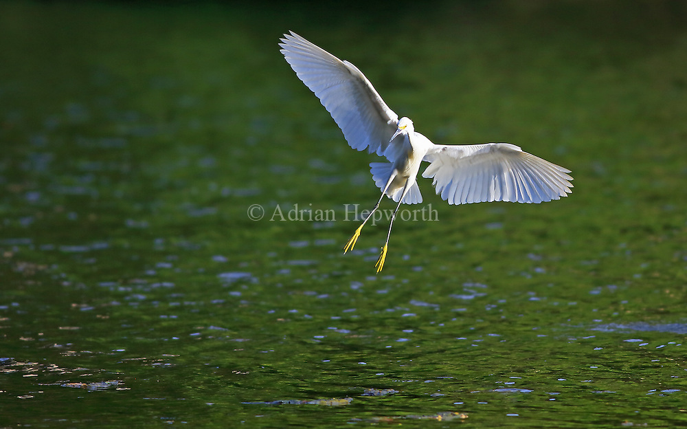Snowy Egret (Egretta thula) in flight. Rio Claro, Corcovado National Park, Costa Rica. <br /> <br /> For pricing click on ADD TO CART (above). We accept payments via PayPal.
