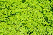 Pattern of Bracken ferns (Pteridium aquilinum )<br />Forillion National Park<br />Quebec<br />Canada
