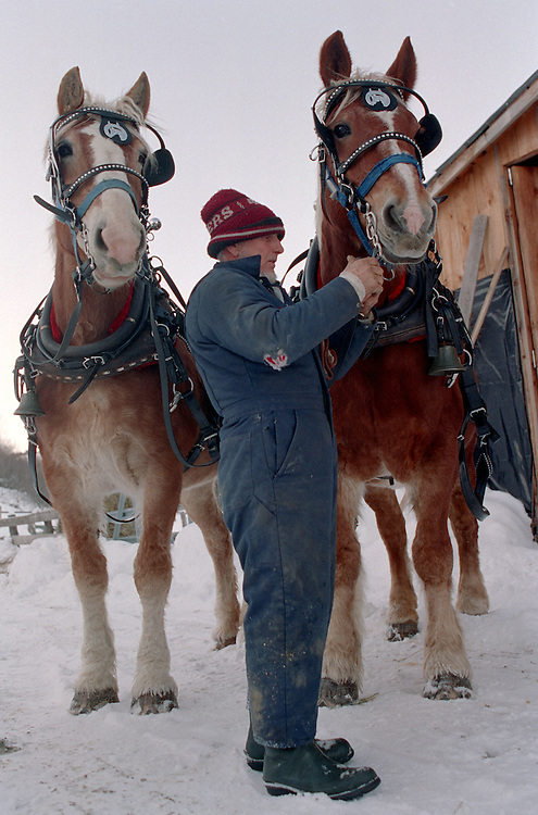 Earl Silloway of Strafford, Vt., harnesses his Belgian draft horse team Peaches, right, and Cream before hitching them up for a sleigh ride on January 12, 2003. Silloway has thirteen draft horses in his barn, which he uses for various tasks, including farm work. (Photo by Geoff Hansen)