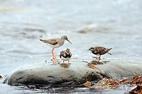 The Ruddy Turnstone (Arenaria interpres) is a small wading bird. It is a highly migratory bird breeding in northern parts of Eurasia and North America and flying south to winter on coastlines almost worldwide. It is the only species of turnstone in much of its range and is often known simply as Turnstone. The Spotted Redshank (Tringa erythropus) is a wader. It is an Arctic bird, breeding across northern Scandinavia and northern Asia.