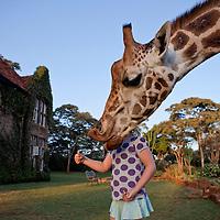 Feeding time at Giraffe Manor
