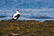 EN.- Common Eider (Somateria mollissima). Male resting amongst seaweeds.  England, UK<br /> ES.- Eider com&uacute;n  (Somateria mollissima) macho descansando sobre algas. Inglaterra, Reino Unido.