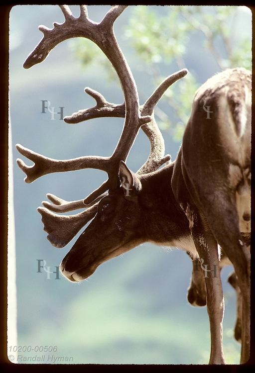August sun backlights the antlers in velvet on caribou bull that awaits autumn rut; Denali National Park, Alaska