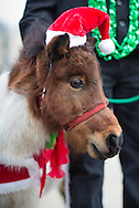 Mini-horse in a Santa hat in the sixth annual Krewe of Jingl New Orleans Christmas Parade. New Orleans has become one of the top tourist holiday destinations in the America.