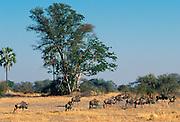 Herd of wildebeests  in the savannah  in Moremi National Park , Botswana
