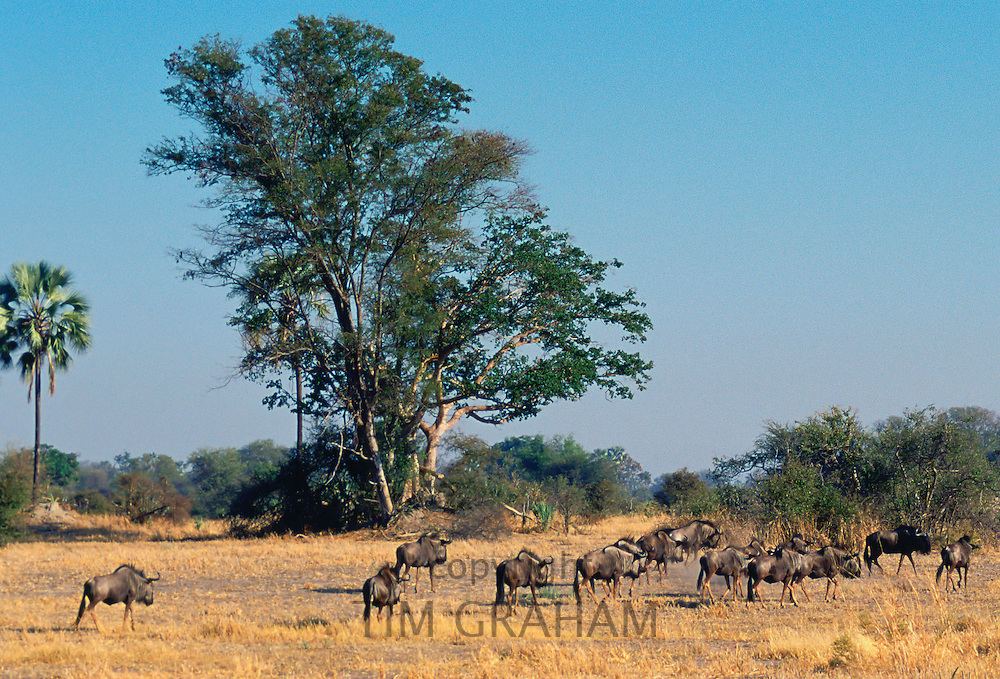 Herd of wildebeests  in the savannah  in Moremi National Park , Botswana