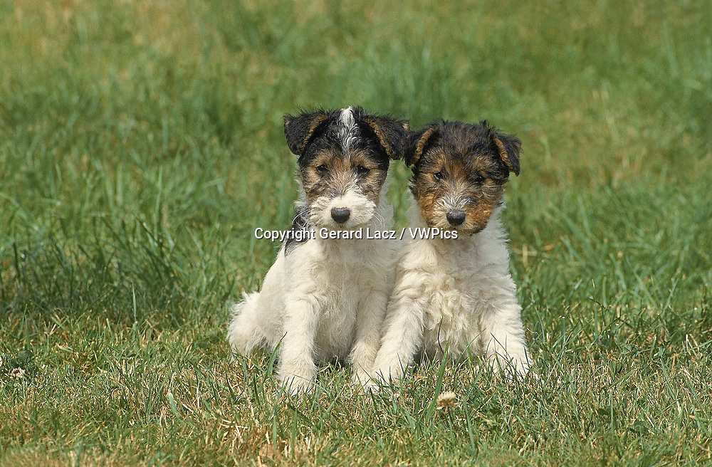 WIRE-HAIRED FOX TERRIER DOG, PUPPIES SITTING ON GRASS