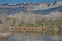 Canada Geese in Rifle Pond below the Roan Cliffs. Near Rifle, Colorado.