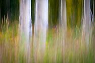 Slow shutter image of aspen trees, Steamboat Springs, CO