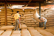 10 NOVEMBER 2004 -- TAPACHULA, CHIAPAS, MEX: Workers on a coffee plantation near Tapachula, Mexico, process and store coffee in the plantation warehouse. Many coffee plantations in Chiapas rely on undocumented workers from Guatemala because their Mexican workers have either emigrated to the US or won't work for the wages plantation owners pay. The mountains of Chiapas, Mexico, make up some of the finest coffee producing land in Mexico. World coffee prices have been depressed by over production in Brazil and Vietnam and thousands of coffee farmers in Mexico and Guatemala have been forced to emigrate to the US as undocumented workers because of the crisis in the coffee industry. PHOTO BY JACK KURTZ