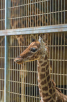 This is the second baby giraffe to be born at the zoo in Lyon since the installation of the African plains in 2007. He was born at the end of January.<br />