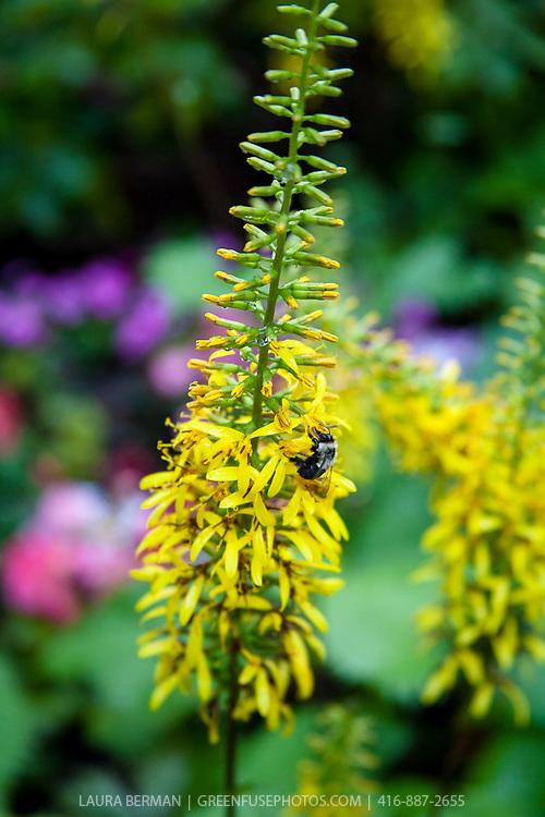 The Rocket Ligularia (Ligularia stenocephala 'The Rocket').