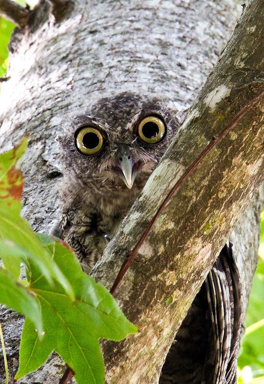 A juvenile owl watches for danger from the protection of a tree limb.