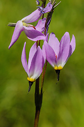 Shooting star, Dodecatheon
