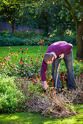 Removing summer bedding from a border in autumn - Zinnia 'Zahara Sunburst'