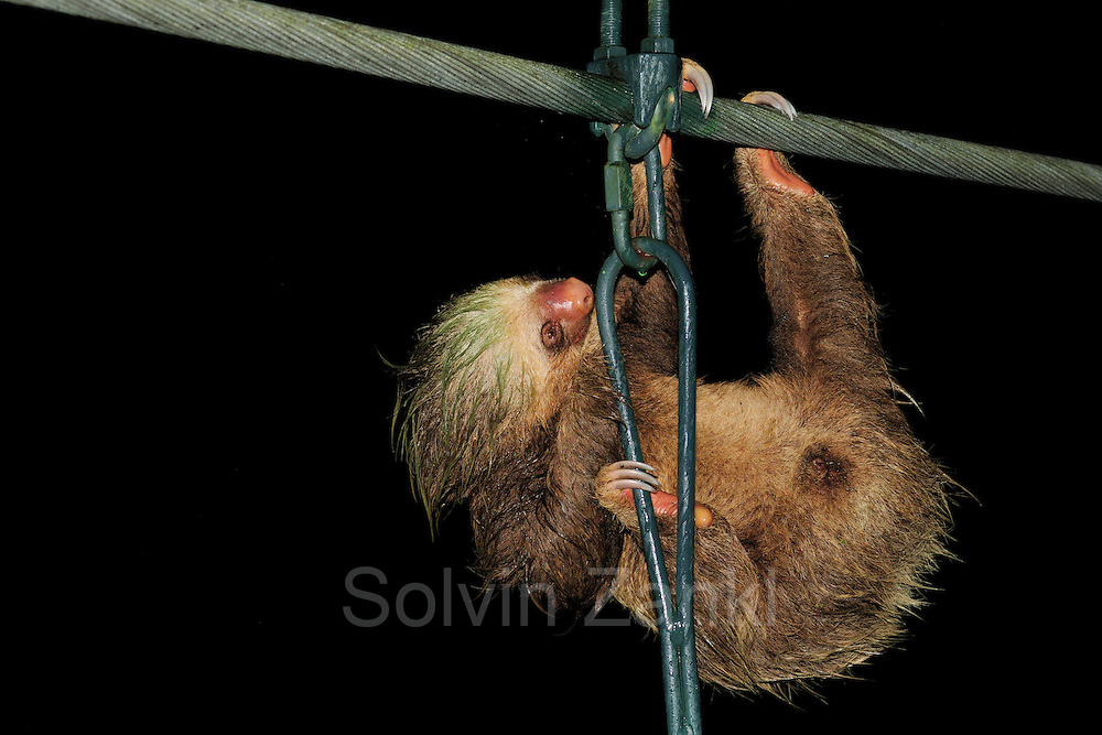 Three-Toed Sloth (Bradypus variegatus) using a bridge to gross a river, La Selva Biological Station, Costa Rica | Braunkehl-Faultier (Bradypus variegatus), Biologische Forschungsstation La Selva, Costa Rica