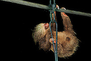 Three-Toed Sloth (Bradypus variegatus) using a bridge to gross a river, La Selva Biological Station, Costa Rica   Braunkehl-Faultier (Bradypus variegatus), Biologische Forschungsstation La Selva, Costa Rica