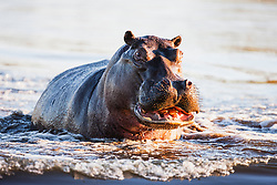 A hippopotamus (Hippopotamus amphibious) aggressively pushes through the water in a threat display when approached too closely in the water, Khwai River, Botswana