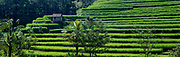 Rice terrace farm ready to harvest