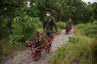 Keepers at IAR transport juvenile orangutans by wheelbarrow to a patch of forest where they will learn skills for the wild <br /> <br /> <br /> International Animal Rescue (IAR)<br /> Ketapang<br /> West Kalimantan Province<br /> Island of Borneo<br /> Indonesia