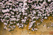 Clematis Montana Elizabeth, covers a wall in Gloucestershire, England, United Kingdom