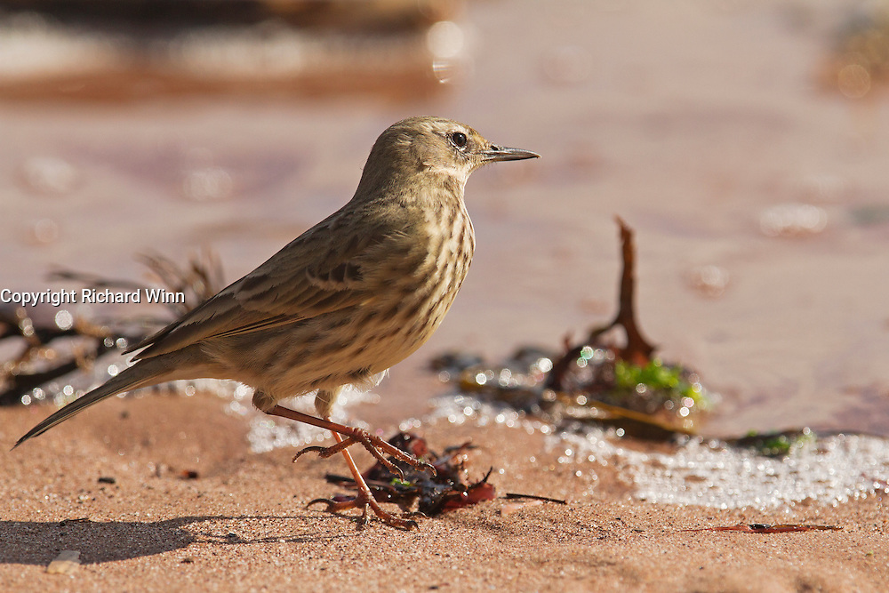 Rock pipit at Dawlish on the South Devon coast, while looking for insects in front of a receding wave.