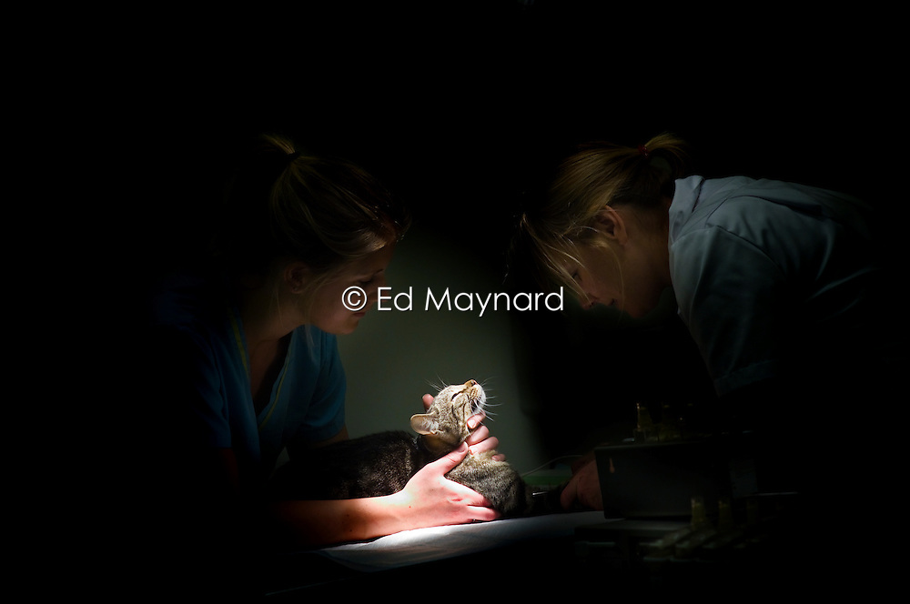 Veterinary nurse holds a cat while a surgeon sedates it prior to a procedure, Arnwood Veterinary Surgery, Nottingham, England, UK.