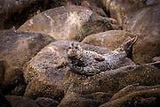 A harbor seal (Phoca vitulina) basking on the rocks off Monterey Bay, California.