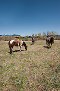 Horses, hobbled, Lazy SR Ranch, branding, Wilsall, Montana